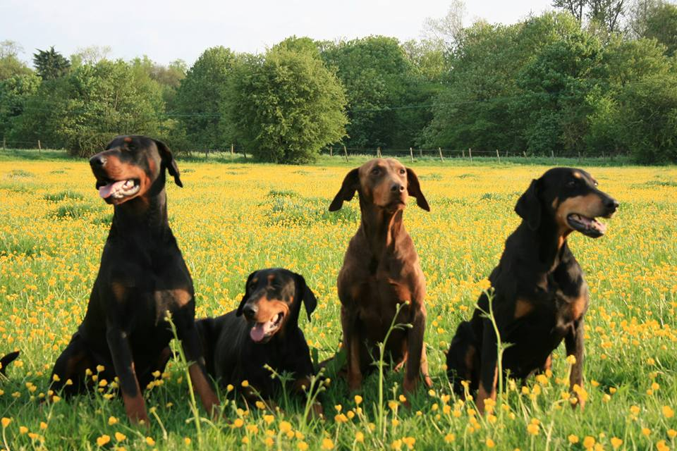Dobermanns sitting amongst the buttercups