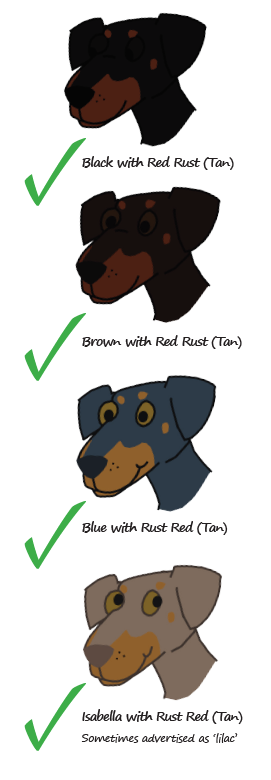 Accepted colours for the Dobermann Breed
