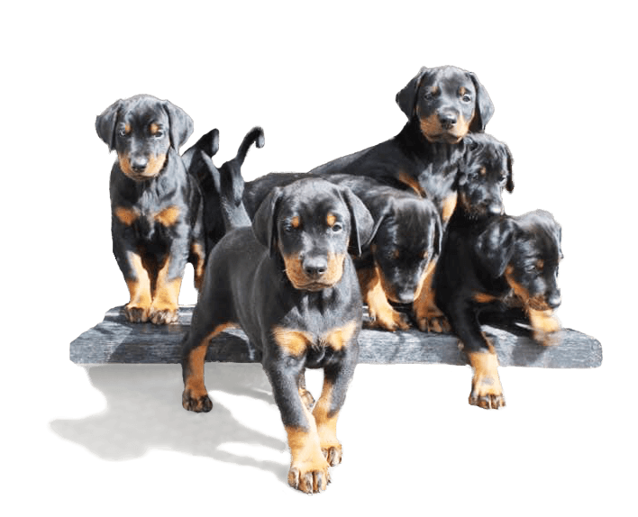 Dobermann puppies