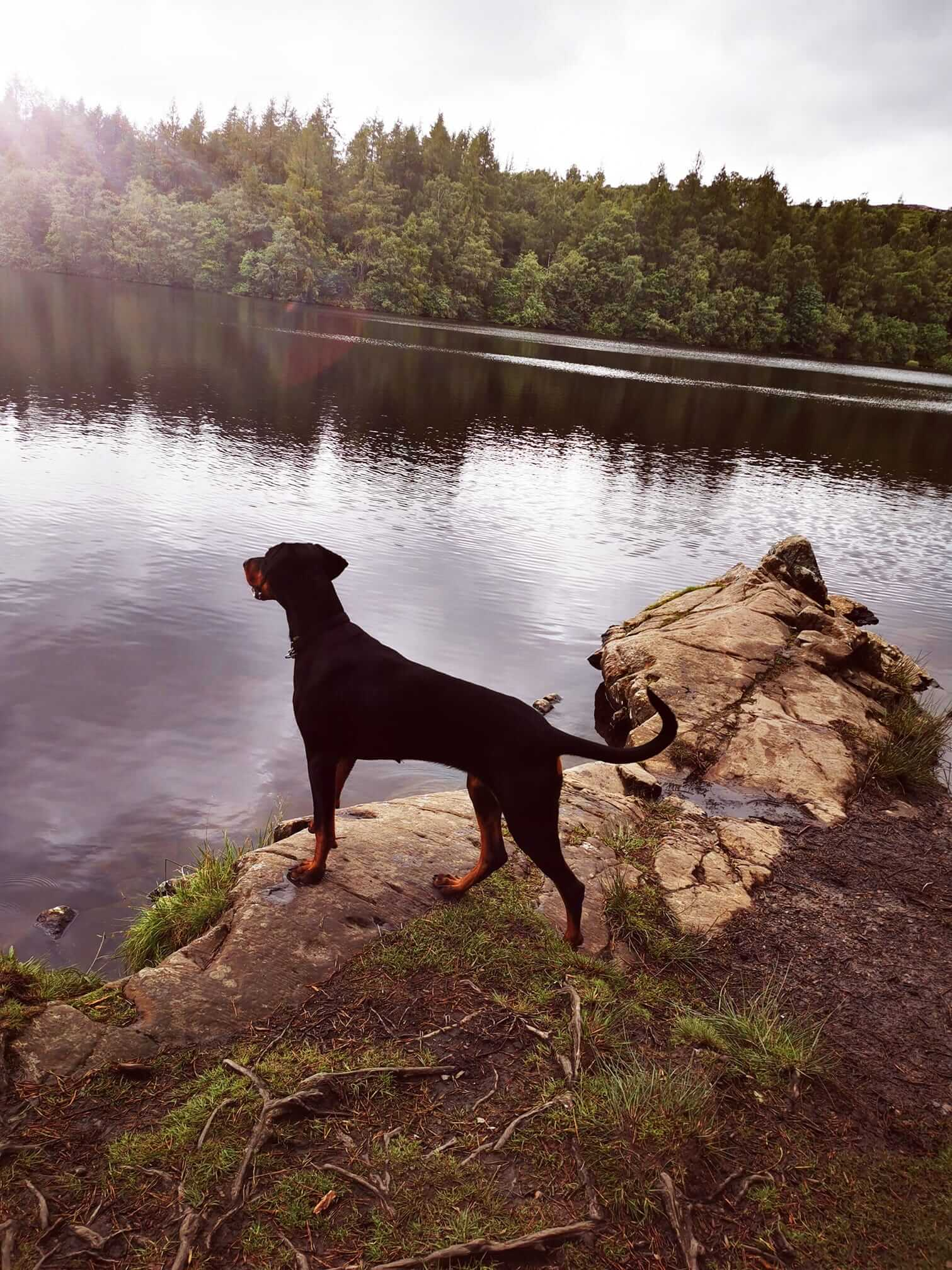 Dobermann overlooking a lake