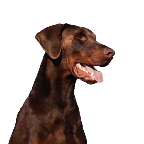 Brown with Red Rust Dobermann