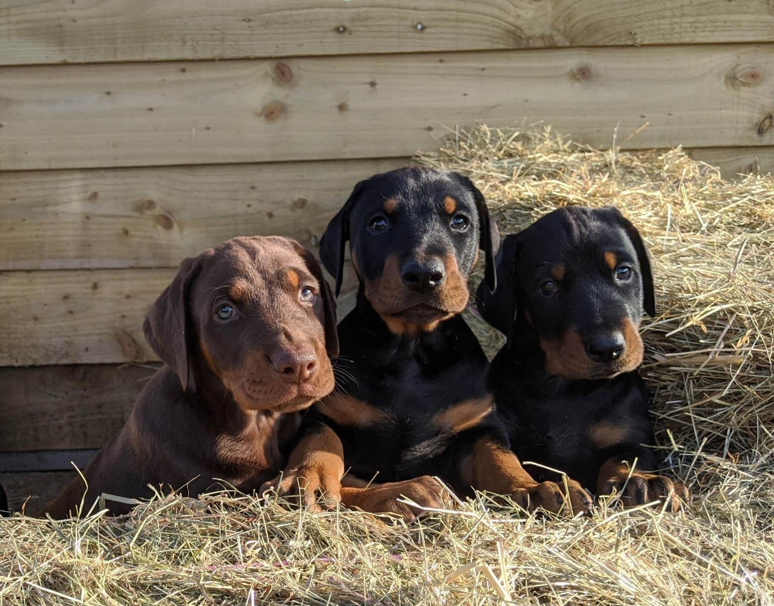 Three Dobermann puppies in the hay